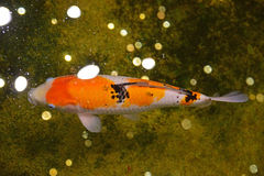 日本人Koi鱼在一个室内水池 免版税库存图片