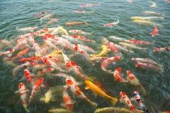 日本人Koi鱼在池塘 库存图片