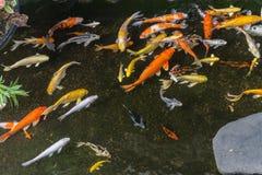 日本人Koi鱼在池塘 免版税库存照片