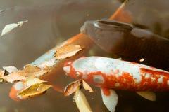 日本人Koi鱼游泳在位于美济礁津沽内在庭院的池塘在东京,日本 免版税库存照片