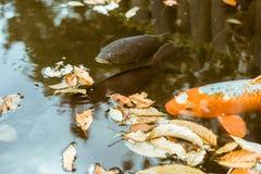 日本人Koi鱼游泳在位于美济礁津沽内在庭院的池塘在东京,日本 免版税图库摄影