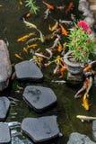 日本人Koi鲤鱼在一个美丽的庭院里 免版税库存图片
