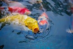 日本人Koi鲤鱼学校  免版税图库摄影