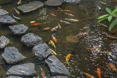 日本人Koi鲤鱼游泳 免版税库存照片