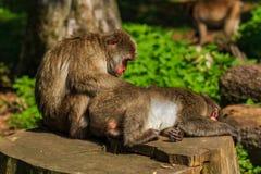 日本人Makak猴子 免版税图库摄影