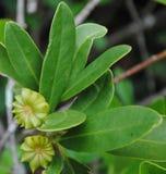 日本八角八角茴香属anisatum 库存图片
