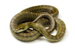 日本吃鼠的蛇 库存图片