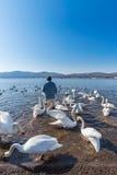 日本在山中湖的人饲料白色天鹅 库存图片