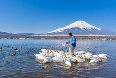 日本在山中湖的人饲料白色天鹅 免版税库存照片