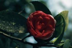 日本在灌木的山茶花红色花 库存照片