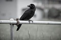 日本大开帐单的乌鸦 免版税图库摄影