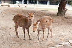 日本奈良鹿孪生 库存照片