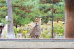 日本奈良鹿 库存图片