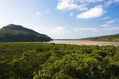 日本密林美洲红树 库存图片