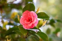 日本山茶花美丽的桃红色花  库存图片