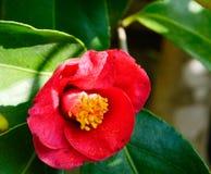 日本山茶花美丽的红色花  图库摄影