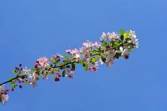 日本开花的crabapple 免版税库存图片