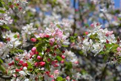 日本开花的crabapple 库存图片