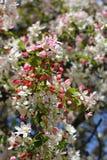 日本开花的crabapple 免版税库存照片