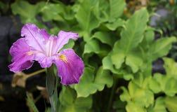 日本彩虹(虹膜ensata)的黑暗的紫色桃红色花 免版税库存图片