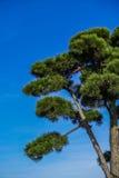 日本杉树,松属densiflora 免版税库存照片