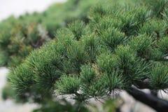 日本杉树 免版税图库摄影