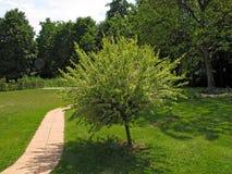 日本杨柳灌木在庭院里 库存照片