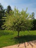日本杨柳灌木在庭院里 免版税图库摄影