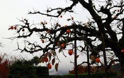 日本柿树分支剪影和有很多在白色天空背景的橙色柿子果子 库存照片