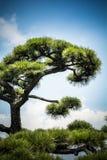 日本树和天空 免版税库存照片