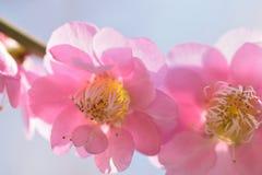 日本桃红色李子宏观纹理在阳光下进展 免版税库存照片