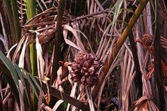 日本棕榈树或美洲红树棕榈 免版税库存照片