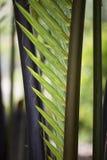 日本棕榈树树 免版税图库摄影