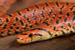 日本森林蛇/Euprepiophis conspicillatus 库存照片