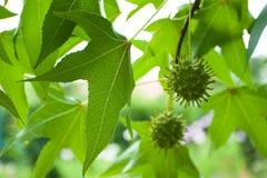 日本槭树 库存照片