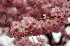 日本樱桃分支  免版税库存图片