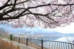 日本樱桃树开花 免版税库存照片