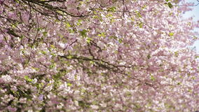 日本樱桃树-开花生叶在风的飞行 股票视频