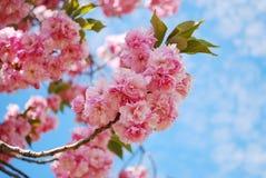 日本樱桃 免版税库存图片
