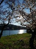 日本樱花在罗马,Eur小的湖 晴朗日的春天 免版税库存图片