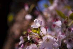 日本樱花树在庭院里 免版税库存照片
