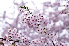 日本樱花& x28; 佐仓tree& x29;春季或hanabi se 免版税库存照片