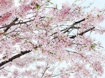日本樱花 免版税库存照片