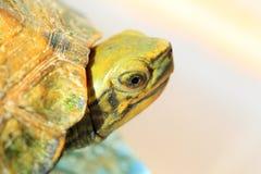日本池塘乌龟 免版税库存图片