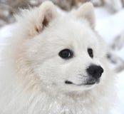 日本波美丝毛狗 库存图片