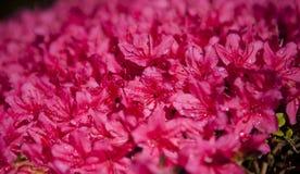 日本流行粉红花开花在庭院里 图库摄影