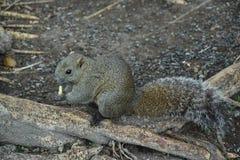 日本灰色灰鼠哺养 免版税库存照片