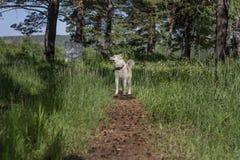 日本狗一条道路的秋田Inu有锥体的在森林里在树中的一个晴天 免版税库存图片