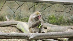 日本猴子吃红萝卜和菜 股票视频