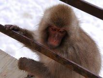 日本猴子特写镜头 免版税图库摄影